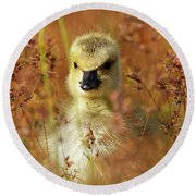 Baby Cuteness - Young Canada Goose Round Beach Towel