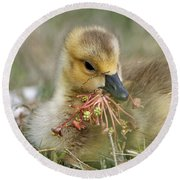 Baby Gosling Collecting Flowers Round Beach Towel