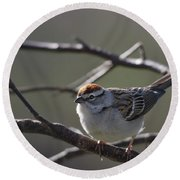 Round Beach Towel featuring the photograph Backlit Chipping Sparrow by Susan Capuano
