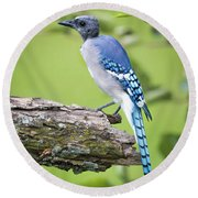 Bald Blue Jay- It Must Be August Round Beach Towel