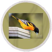 Round Beach Towel featuring the photograph Baltimore Oriole About To Jump by Ricky L Jones