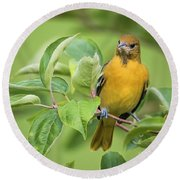 Baltimore Oriole Closeup Round Beach Towel