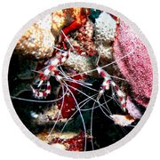 Round Beach Towel featuring the photograph Banded Coral Shrimp - Caught In The Act by Amy McDaniel