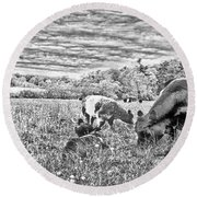 Belted Galloway Beef Cattle Round Beach Towel by Daniel Hebard