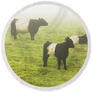 Belted Galloway Cows Grazing  In Foggy Farm Field Maine Round Beach Towel by Keith Webber Jr