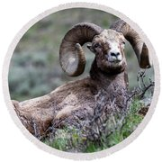 Round Beach Towel featuring the photograph Big Horn Sheep #3 by Scott Read