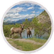 Bighorn Sheep In The Rocky Mountains Round Beach Towel by Patricia Hofmeester