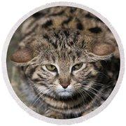 Black-footed Cat Felis Nigripes Round Beach Towel