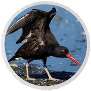 Black Oyster Catcher Round Beach Towel
