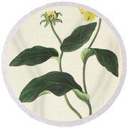 Blackeyed Susan Or Rudbeckia Hirta, Vintage Botanical Print Round Beach Towel