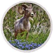 Blooms And Bighorn In Anza Borrego Desert State Park  Round Beach Towel