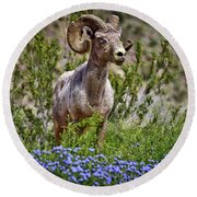 Blooms And Bighorn In Anza Borrego Desert State Park  Round Beach Towel by Sam Antonio Photography