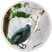 Blue-grey Tanager 2 Round Beach Towel