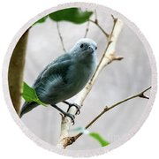 Blue-grey Tanager 2 Round Beach Towel