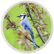 Blue Jay Round Beach Towel by Deborah Benoit