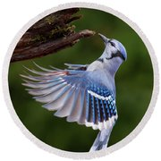 Round Beach Towel featuring the photograph Blue Jay In Flight by Mircea Costina Photography