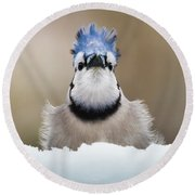 Blue Jay In Snow Round Beach Towel