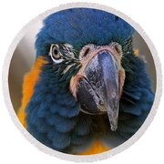 Blue-throated Macaw Close-up Round Beach Towel