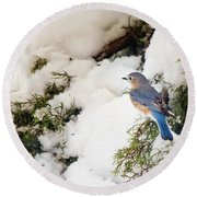 Round Beach Towel featuring the photograph Bluebird On Snow-laden Cedar by Robert Frederick