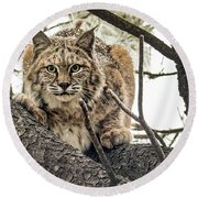 Bobcat In Winter Round Beach Towel