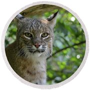 Bobcat Staring Contest Round Beach Towel