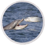 Bottlenose Dolphin Eating Salmon - Scotland  #36 Round Beach Towel
