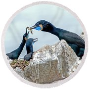 Brandt's Cormorant Feeding Family Round Beach Towel