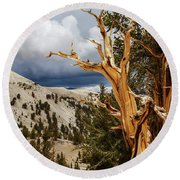 Bristlecone Pine Tree 8 Round Beach Towel