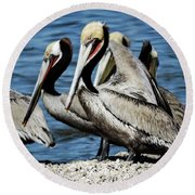 Brown Pelicans Preening Round Beach Towel