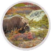 Bull Musk Ox Grazing Round Beach Towel