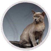 Burma Cat Sits And Loocking Up On Gray Round Beach Towel