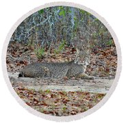 Round Beach Towel featuring the photograph Bushed Bobcat by Al Powell Photography USA