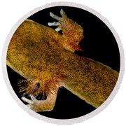 California Giant Salamander Larva Round Beach Towel