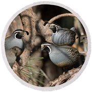 California Quail Covey  Round Beach Towel