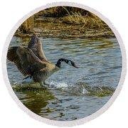 Canada Goose Takes Flight, Frank Lake, Alberta, Canada Round Beach Towel