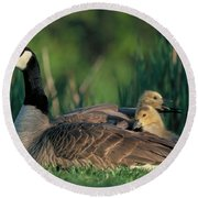 Canada Goose With Goslings Round Beach Towel