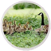Round Beach Towel featuring the photograph Canada Gosling Daycare by Rona Black