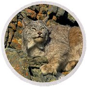Round Beach Towel featuring the photograph Canadian Lynx On Lichen-covered Cliff Endangered Species by Dave Welling