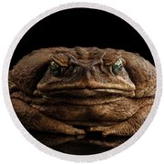 Cane Toad - Bufo Marinus, Giant Neotropical Or Marine Toad Isolated On Black Background, Front View Round Beach Towel