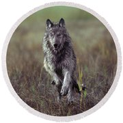 Canis Lupus Round Beach Towel by Tim Fitzharris