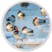 Canvasback Duck Standing On Ice In The Chesapeake Bay Round Beach Towel