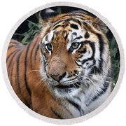Round Beach Towel featuring the photograph Cat In The Jungle by Charuhas Images