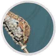 Caterpillar And Parasitic Wasp/eggs Round Beach Towel