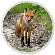 Round Beach Towel featuring the photograph Cautious But Curious Red Fox Portrait by Debbie Oppermann