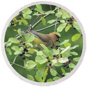 Cedar Waxwing Eating Berries Round Beach Towel by Maili Page