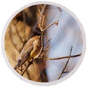 Cedar Waxwing In Autumn Round Beach Towel