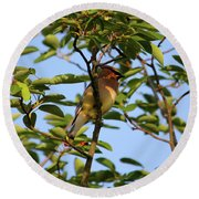 Cedar Waxwing Round Beach Towel by Mark A Brown