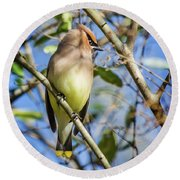 Cedar Waxwing Perch II Round Beach Towel by Karen Jorstad