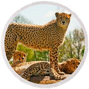 Cheetahs Three Round Beach Towel
