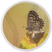 Chequered Blue Butterfly - Scolitantides Orion Round Beach Towel by Jivko Nakev